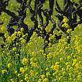 Mustard And Old Vines by Debbie Ames