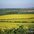 Mustard Colour Fields by Ann Fellows