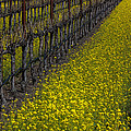 Mustrad Grass In The Vineyards by Garry Gay
