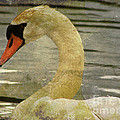 Mute Swan by Alyce Taylor