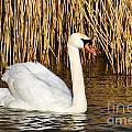 Mute Swan By Reed Beds by Susie Peek