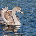 Mute Swan Cygnet by Susie Peek