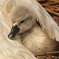 Mute Swan Cygnet Under Wing by Flip De Nooyer