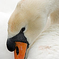 Mute Swan Fine Art Photograph by John Harmon