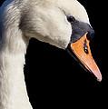 Mute Swan by Wobblymol Davis