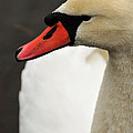 Mute Swan by Mike Martin