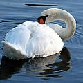 Mute Swan No. 2 by Janice Adomeit