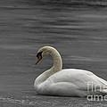 Mute Swan On Ice by Ronald Grogan