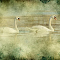 Mute Swan Pair by Daniel Lee Brown