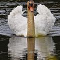 Mute Swan Pictures 141 by World Wildlife Photography