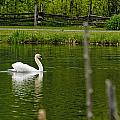 Mute Swan Pictures 195 by World Wildlife Photography