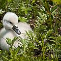 Mute Swan Pictures 210 by World Wildlife Photography