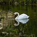 Mute Swan Pictures 85 by World Wildlife Photography