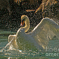 Mute Swan by Ron Sanford
