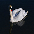Mute Swan by Scott Carruthers
