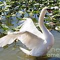 Mute Swan Wings by Carol Groenen