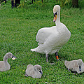 Mute Swan With Cygnets by Tony Murtagh