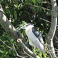 My Blue Heron by John Will