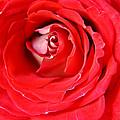 My Delicate Rose by Teresa Blanton