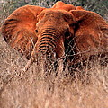 My Elephant In Africa by Phyllis Kaltenbach