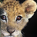 My Grandma What Big Eyes You Have African Lion Cub Wildlife Rescue by Dave Welling