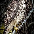 My Hawk Encounter by Karen Wiles