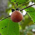 My Persimmon Tree by Cheryl Hardt Art