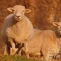 My Sheep ...   by Lydia Holly