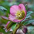 My Wild Xmas Rose by Byron Varvarigos
