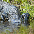 Myakka River Alligator by Art Spearing
