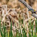 Myrtle Warbler Colors by Edward Peterson