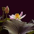 Mysterious Lotus by Byron Varvarigos