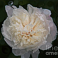 Mysterious White Peony Abstract Painting by Omaste Witkowski