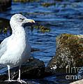 Mystic Seagull by Sabrina L Ryan