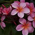 Na Lei Pua Melia O Wailua - Pink Tropical Plumeria Hawaii by Sharon Mau