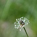 Naked Dandelion by Lori Rossi