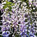 Nancys Wisteria Cropped Db by Rich Franco