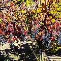 Napa Fall Grapes by Brian Williamson