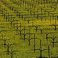 Napa Mustard Grass by Garry Gay