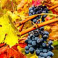 Napa Valley Grapes, California by Tirza Roring