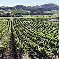 Napa Valley Vineyard by Dee  Savage