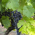 Napa Valley Vineyard Grapes by Jennifer Lamanca Kaufman