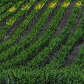 Napa Valley Vineyard by Steve Gadomski