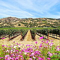 Napa Valley Vineyard With Cosmos by Catherine Sherman