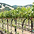 Napa Vineyard Grapes by Shane Kelly