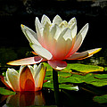 Napa Water Lilies 003 by Lance Vaughn
