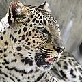 Naples Zoo - Leopard Relaxing 1 by Ronald Reid