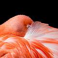Napping Flamingo by Bill Lindsay