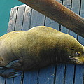 Napping Sea Lion by Jeff Swan