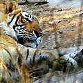 Naptime For A Bengal Tiger by Laurel Talabere